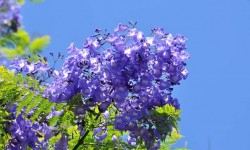 Just had to add the incredible Jacaranda with it&#039;s profusion of bright blue flowers