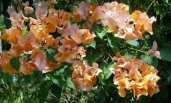 Beautiful orange bougainvilla.  The hybrids are numerous these days.  The original color was either red or deep pink or both.