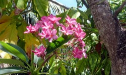 The Frangipani or Plumaria Rubra are all in riotous bloom.